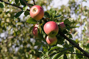caring for apple trees
