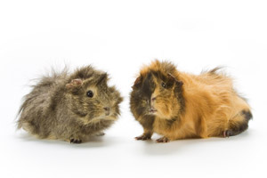guinea pig illnesses
