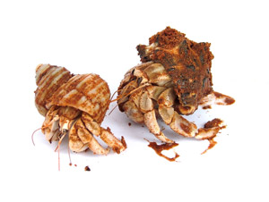 hermit crabs how to care for