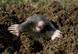 Rodent Guys Gopher Mole Squirrel