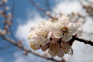 types of cherry trees