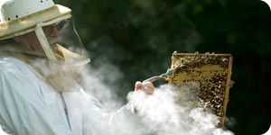 Getting honey from bees