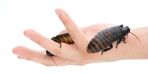 Cockroaches on human hand