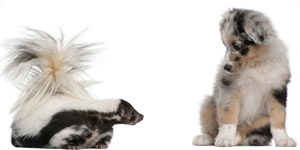 Image of dog and skunk