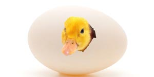 Duckling coming out of the shell