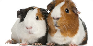 Photo of guinea pigs