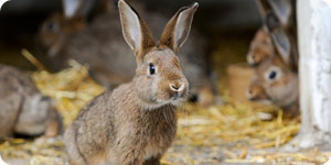 Image of pet rabbit