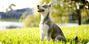 Husky on the lawn