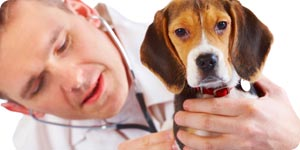 Veterinarian taking care with beagle puppy